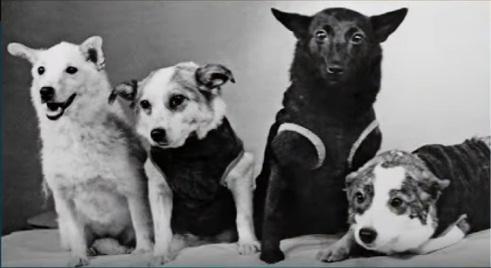 Перед вами фото первых советских собак-космонавтов.