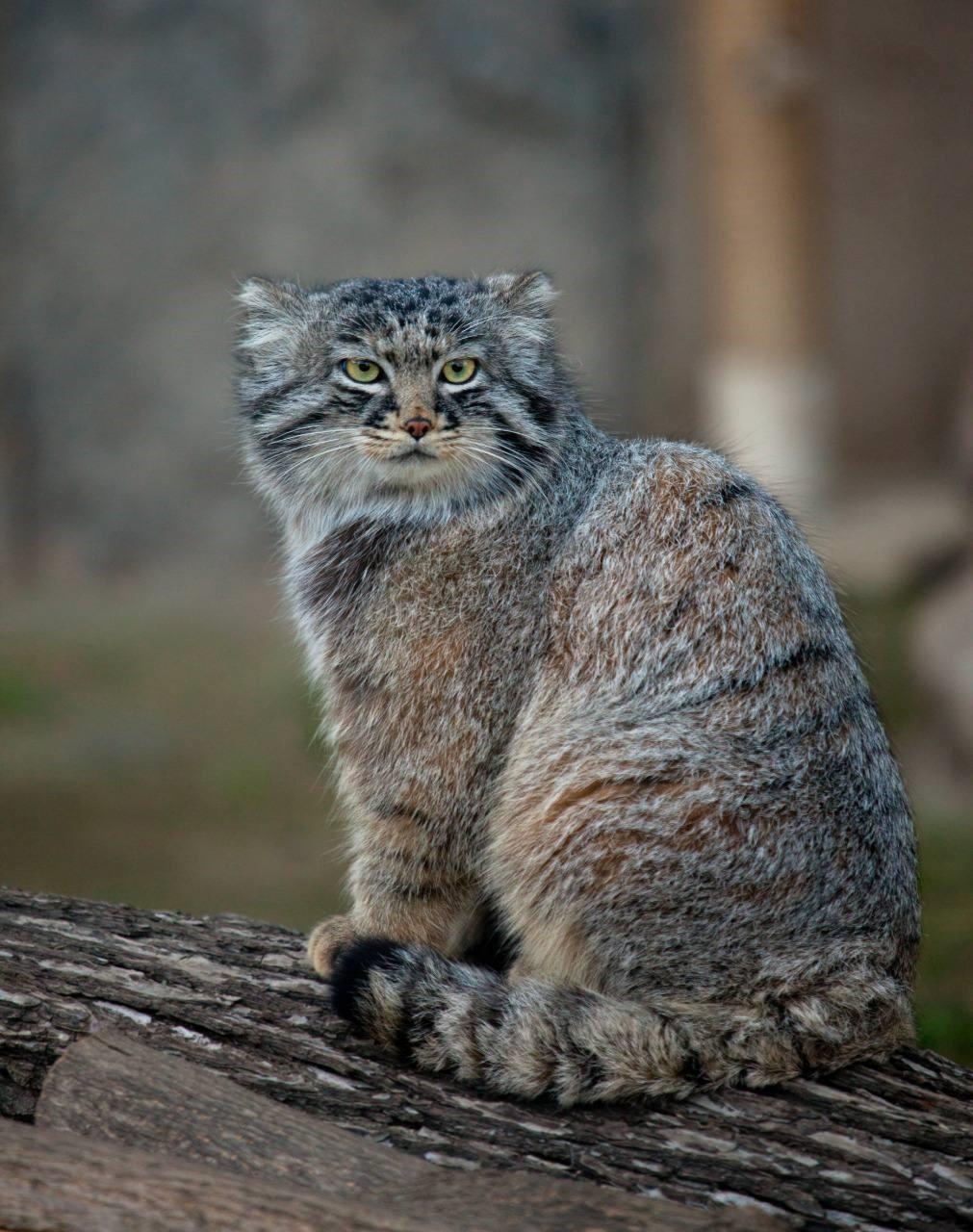 А вы знаете, в каком году манул стал символом Московского зоопарка?